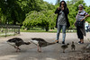 Protective poses (PChamaeleoMH) Tags: centrallondon goslings greylaggeese greylags london people stjamesspark