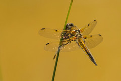 FOUR SPOTTED CHASER (_jypictures) Tags: animalphotography animals animal canon7d canon canonphotography wildlife wildlifephotography wiltshire nature naturephotography photography pictures chaser fourspottedchaser dragonfly macro macrophotography