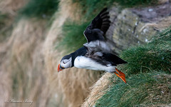 Puffins 05-May-18  M_003 (gomo.images) Tags: 2018 aberdeenshire country puffins rspbscotlandfowlsheugh scotland stonehaven years