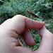 Stratiomyidae, Chiromyza sp
