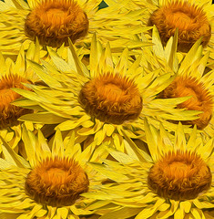 A posse (Scottmh) Tags: 2007 australia cranbourne d7100 flora flower gardens native nikon oil painting plant spring yellow sunflower