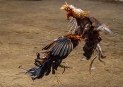 Cock fighting a7iii-1- (2) (walterkolkma) Tags: a7m3sonya7iiiphilippinesmanilala loma cockpitcockfightingcock fighting gambling
