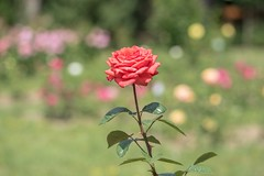 Roses (Torok_Bea) Tags: rózsa roses rose nikon nikond5500 bokeh flowers flower sigma sigma105 nature szegedifüvészkert füvészkert