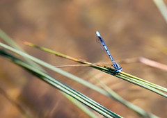 Damselfly (Don McDougall) Tags: don mcdougall france seine normandy damselfly insect fauna fly flying
