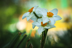 Three Graces (preze) Tags: weisenarzisse echtenarzisse narcissus blume flower pflanze plant blüten blossom flora blütenblätter petals bokeh spring frühling