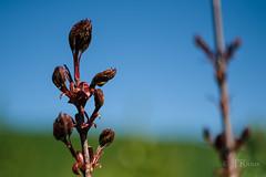 jeune pousse-5525 (J-P Rioux) Tags: jprioux fujifilm helios442 parc escarpement feuilles jeunepousse printemps spaq