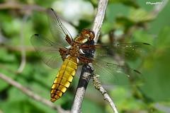 Libellule déprimée femelle - Libellula depressa (BPBP42) Tags: nature animal insecte libellules dragonfly
