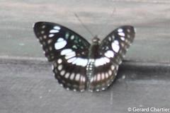 Athyma ranga obsolescens (Blackvein Sergeant) (GeeC) Tags: animalia arthropoda athyma athymarangaobsolescens blackveinsergeant brushfootedbutterflies butterfliesmoths cambodia insecta kohkongprovince lepidoptera limenitidinae nature nymphalidae papilionoidea tatai truebutterflies