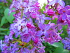IMG_4561 5-23-2018 (PGK88) Tags: purple flowers lilac plant nature outdoors closeup spring springtime blooming garden blooms blossoms beautiful 2018 365 pgk88