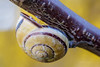 Upward spiral (Karsten Gieselmann) Tags: 60mmf28 braun dof em5markii gelb mzuiko microfourthirds olympus schnecke schärfentiefe weichtiere wirbellose brown kgiesel m43 mft yellow