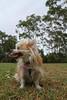 20180425-IMG_3203 (PM Clark) Tags: chihuahua pure bred long coat jezebel sydney australia