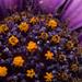 A closer look - Blue Daisy