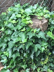 Ivy Over And Around. (Jack4Phil) Tags: stump climbing outdoors green ivy