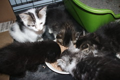 It's Kitten Season! Cats and Kittens at Crafty Cat Rescue (Ann Arbor, Michigan) - Wednesday April 25th, 2018 (cseeman) Tags: cats pets craftycatrescue annarbor michigan shelter adoption catshelter catrescue caring animals kittens craftycatkittens2018 craftycatphotos04252018