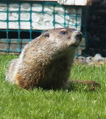 Toothy (MissyPenny) Tags: bristolpennsylvania southeasternpa spring marmot critter vegitarian animal