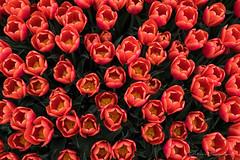 Tulips from above (doloreshooijschuur) Tags: nederlandvandaag tulipfield tulips dirksland bloemen flowers achtergrond background bovenaf above groen green white wit yellow geel rood red tulpenveld tulpen nikond3300 nikon starter beginner zuidholland goereeoverflakkee thenetherlands nederland