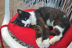 Key West (Florida) Trip 2017 0287Ri 4x6 (edgarandron - Busy!) Tags: cat cats kitty kitties tabby tabbies cute feline