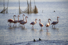 baciati dalla luce (swaily ◘ Claudio Parente) Tags: flamingos fenicotteri laguna lago maremma toscana d500 nikon swaily claudioparente