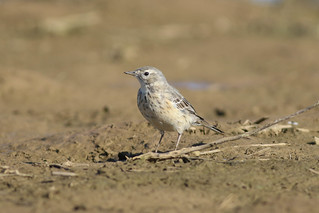 American Pipit (Explored)