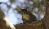 Squirrel, Morton Arboretum. 425 (EOS) (Mega-Magpie) Tags: canon eos 60d nature wildlife outdoors cute tree squirrel the morton arboretum lisle dupage il illinois usa america