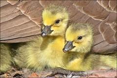 Newbies (muledriver) Tags: goslings canadageese babies goose wildlife waterfowl birds