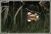 Mandarin 180502-01-P (paul.vetter) Tags: oiseau ornithologie ornithology faune animal bird canard palmipède aixmandarin mandarin aixgalericulata mandarinduck patomandarín patomandarim mandarinente