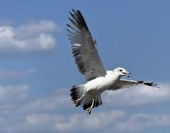 seagull  bird (watts_photos) Tags: seagull bird birds seagulls