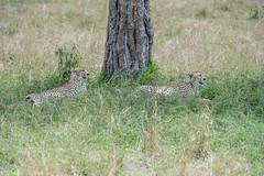 A quien a buen árbol se arrima... (David Perez Lopez) Tags: guepardo cheetah acinonyxjubatus chita guépard ghepardo gepard áfrica africa kenia kenya mara masáimara masaimara masai nikon d4s 200400vrii