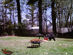 WGI_3214 (scottmcon) Tags: mama bear birdfeeder takedown may 2 2018 mother two cubs solor last years august yearling april 27 separate days