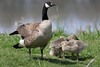 Proud Mama Goose (PDX Bailey) Tags: goose mother field baby bokeh tele telephoto canon camera goosling