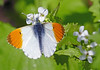 Orange Tip Butterfly (eric robb niven) Tags: ericrobbniven scotland dura den orange tip butterfly macro