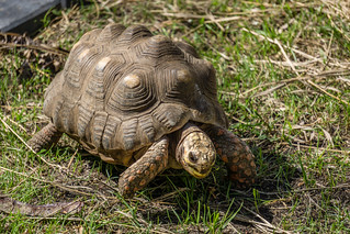 Captain Hook, South American Red-Footed Tortoise