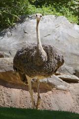 Ostrich (Struthio camelus) (ucumari photography) Tags: ucumariphotography northcarolina nc zoo may 2018 animal bird ostrich struthiocamelus dsc7585 specanimal