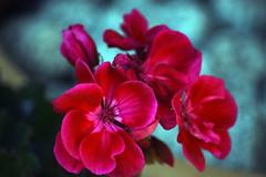 Hot Pink Geranium (Rachela B) Tags: bokeh petals pink spring plant turquoiseblue shadows pelargonium lightshade geranium macro springtime garden patio pot
