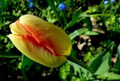 Tulipan. (andrzejskałuba) Tags: polska poland pieszyce dolnyśląsk silesia sudety europe panasoniclumixfz200 roślina plant kwiat flower tulipan tulip zieleń green garden ogród natura nature yellow red 100v10f