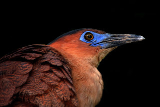 DSCN0331 Night Heron