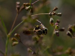 Even Bee-Wolves Need A Sugar Hit (harefoot1066) Tags: nyctaginaceae boerhavia boerhaviaerecta erectspiderling spiderling hymenoptera aculeata apoidea apoidwasp crabronidae philanthinae philanthini philanthus philanthusmultimaculatus beewolves