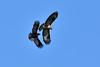 Rabenkrähe hasst Bussard - crow attacking buzzard (olafkerber) Tags: colafkerber rabenkrähe hasst bussard crow attacking buzzard natur nature naturephotography naturfotografie nikonnature nikonwildlife wildlife wildlifephotography raptor raubvogel