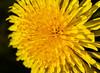 Dandelion (ashhayling) Tags: dandelion clock plant flower uk england nature petals macro close up detail
