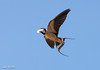 Swallow (johnthistle) Tags: swallow canon bird flight flying feather handheld sky