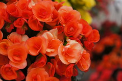 Little bursts of life (jfingas) Tags: ottawa canada spring flower flowers byward market peach