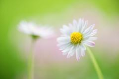 daisy 5670 (junjiaoyama) Tags: japan flower plant daisy white spring macro bokeh