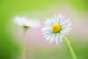 daisy 5670 (junjiaoyama) Tags: japan flower plant daisy white spring macro bokeh macromademoiselle