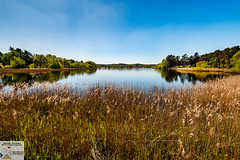 Frensham_DSC8977 (Nick Woods Photography) Tags: landscape frensham frenshamcommon frenshamponds nt nationaltrust greenery trees water waterscape waterreflections waterscene colour colourfullandscape colourful pond pondscene frenshamlittlepond reeds