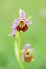I do not need to be jealous (Tschissl) Tags: austria niederösterreich orchideen location pflanzen blumen flowers österreich