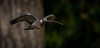 Woody The Flying Nest Builder (neil 36) Tags: woody nest building flying bird nikon d7200 nikor 300mm neil hutchinson nature wildlife wood pigeon