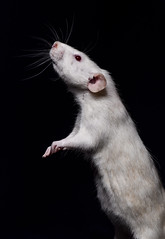 """""""Feeling a little Ratty this morning"""" (cjpk1) Tags: rodent white albino rat"""