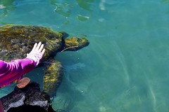 Sea turtle visit (thomasgorman1) Tags: turtle woman hand touching shore cove hawaii nikon onekahakaha hilo nature outdoors underwater reptile shell wildlife sealife encounter