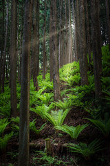 Ray peaks through forest (kellypettit) Tags: forest sunray dark light contrast japan gunma kellypettitphotography pillars