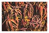 Aloe (Daniela 59) Tags: aloe plant succulent leaves colourful namaqualand northerncape kamieskroon garden nature flora danielaruppel